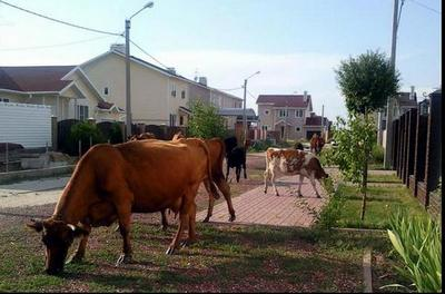 Коровам тут доступно и комфортно.