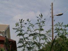 Гигантское растение-сорняк.