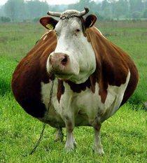 У коровы намечаются проблемы с ЖКХ.