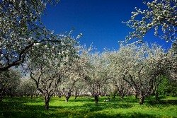 Коттеджный поселок МЕЧТА вырастет рядом с яблоневой рощей.