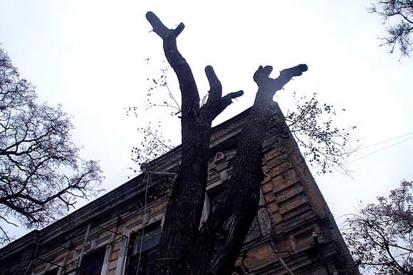 Так выглядит глубокая обрезка деревьев. Если, конечно, перетрусившие перед Сергеем Горбанем чиновники не переборщили, покромсав его, подобно Фредди Крюгеру, орудующему на улице Вязов.