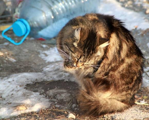 Ловить и кастрировать кошек будут многочисленные Шариковы, нанятые городскими администрациями.