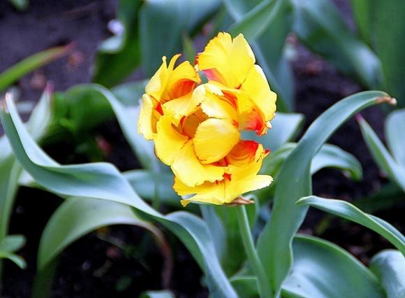 Класс попугайных тюльпанов — самый любимый у Михаила. Сорт Тексас Флейм.