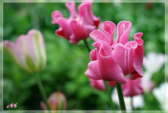 А это — самый первый мутант от «Элизабет» — коронавидный тюльпан. Пикче
