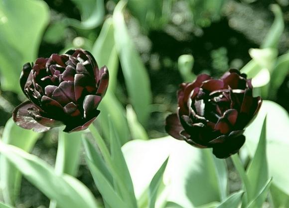 http://rostov-dom.info/wp-content/uploads/2020/06/Blec.jpg Еще один вид черных тюльпанов — сорт Блэк Хироу. Примет ли их в подарок девушка?